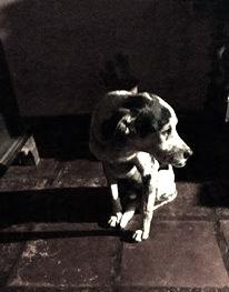 Herança canina